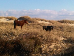 These horses roam wild in the dunes of the OBX